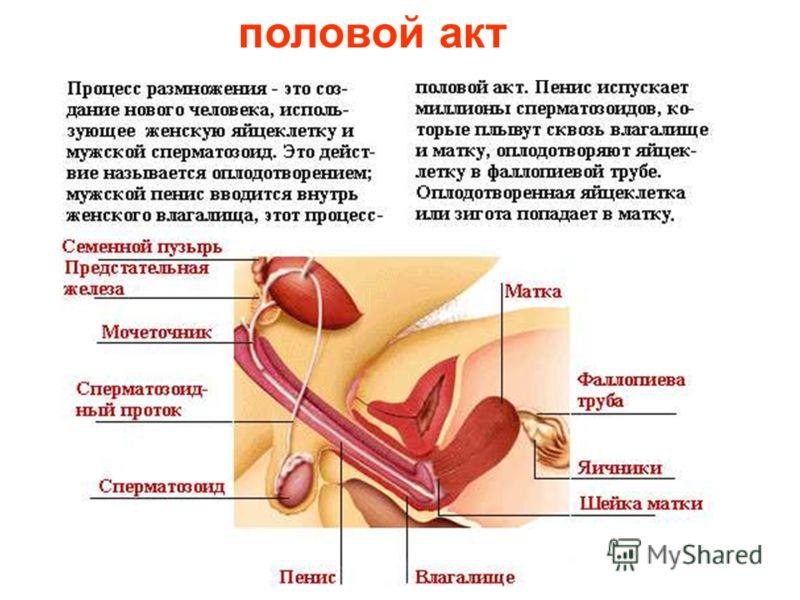 половая система Половая система мужчины и женщины создана для продолжения рода человека – рождения детей. Родить и кормить ребенка грудью может только женщина, поэтому её груди больше, чем у мужчин. Половая система состоит из половых органов и желез