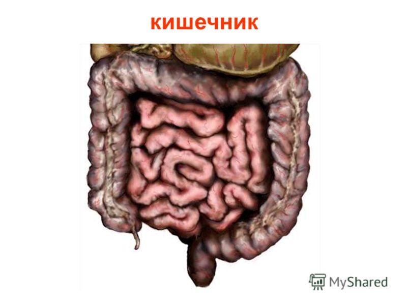 Далее пища двигается по пищеводу и попадает в желудок. В желудке пища делает первую длительную остановку. Под действием желудочного секрета она превращается в кашеобразную массу и перемешивается. Сокращаясь, мышцы желудка продвигают пищу дальше в киш