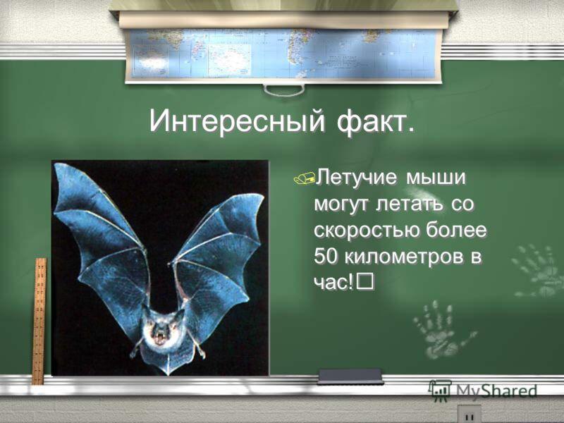 Интересный факт. / Летучие мыши могут летать со скоростью более 50 километров в час!