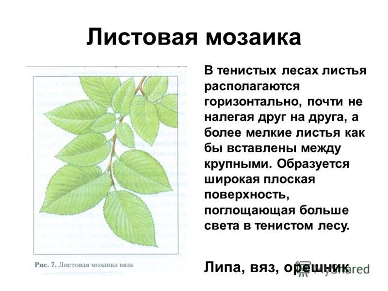 Листовая мозаика В тенистых лесах листья располагаются горизонтально, почти не налегая друг на друга, а более мелкие листья как бы вставлены между крупными. Образуется широкая плоская поверхность, поглощающая больше света в тенистом лесу. Липа, вяз,