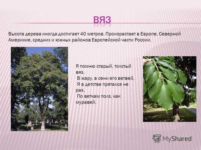 Высота дерева иногда достигает 40 метров. Произрастает в Европе, Северной Америкие, средних и южных районов Европейской части России. Я помню старый, толстый вяз, В жару, в сени его ветвей, Я в детстве прятался не раз, По веткам полз, как муравей.