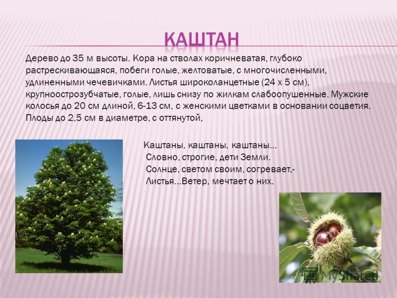 Дерево до 35 м высоты. Кора на стволах коричневатая, глубоко растрескивающаяся, побеги голые, желтоватые, с многочисленными, удлиненными чечевичками. Листья широколанцетные (24 х 5 см), крупноострозубчатые, голые, лишь снизу по жилкам слабоопушенные.