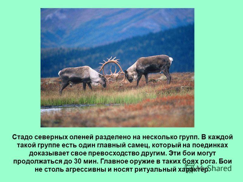 Стадо северных оленей разделено на несколько групп. В каждой такой группе есть один главный самец, который на поединках доказывает свое превосходство другим. Эти бои могут продолжаться до 30 мин. Главное оружие в таких боях рога. Бои не столь агресси