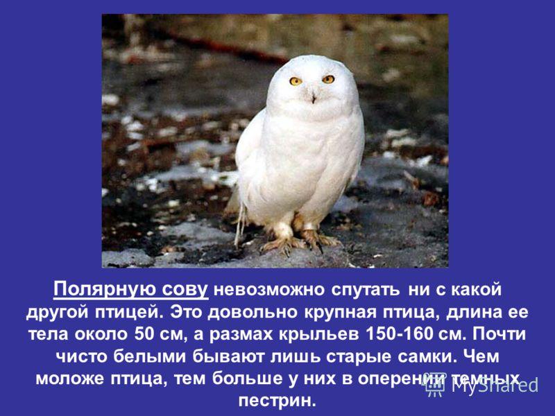 Полярную сову невозможно спутать ни с какой другой птицей. Это довольно крупная птица, длина ее тела около 50 см, а размах крыльев 150-160 см. Почти чисто белыми бывают лишь старые самки. Чем моложе птица, тем больше у них в оперении темных пестрин.
