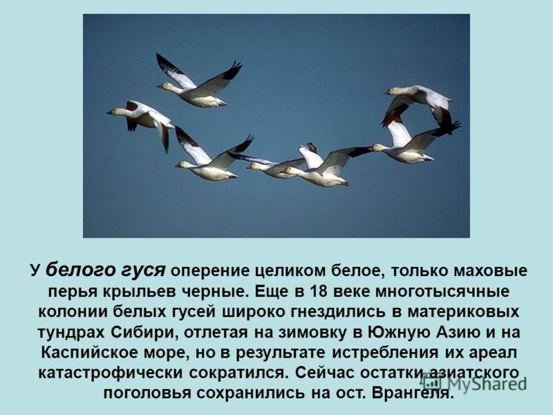 У белого гуся оперение целиком белое, только маховые перья крыльев черные. Еще в 18 веке многотысячные колонии белых гусей широко гнездились в материковых тундрах Сибири, отлетая на зимовку в Южную Азию и на Каспийское море, но в результате истреблен