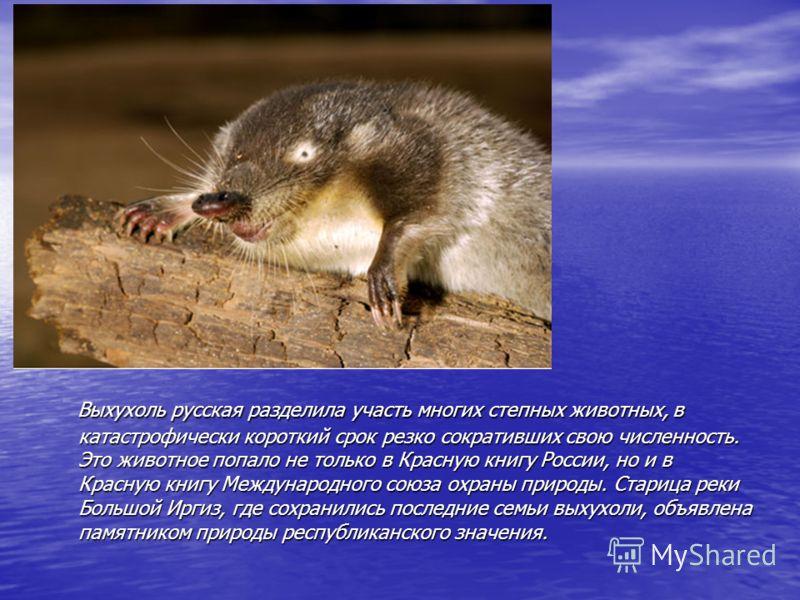 Выхухоль русская разделила участь многих степных животных, в катастрофически короткий срок резко сокративших свою численность. Это животное попало не только в Красную книгу России, но и в Красную книгу Международного союза охраны природы. Старица рек