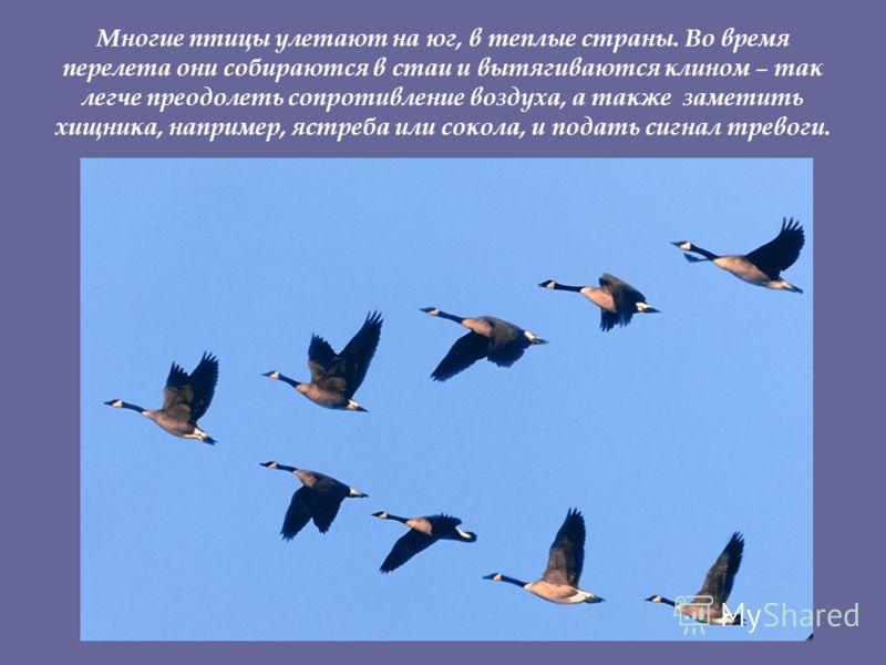 Многие птицы улетают на юг, в теплые страны. Во время перелета они собираются в стаи и вытягиваются клином – так легче преодолеть сопротивление воздуха, а также заметить хищника, например, ястреба или сокола, и подать сигнал тревоги.