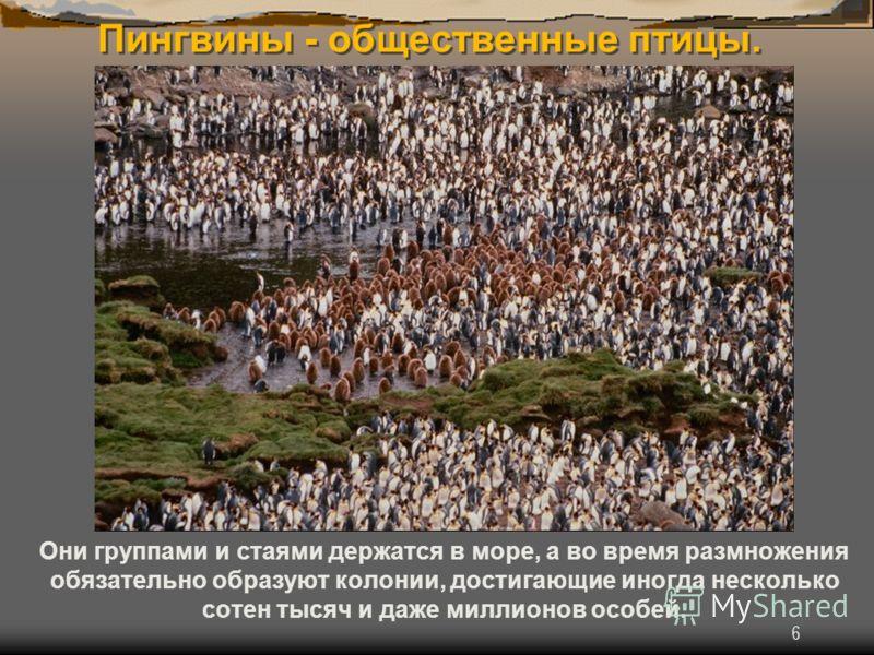 6 Пингвины - общественные птицы. Они группами и стаями держатся в море, а во время размножения обязательно образуют колонии, достигающие иногда несколько сотен тысяч и даже миллионов особей.