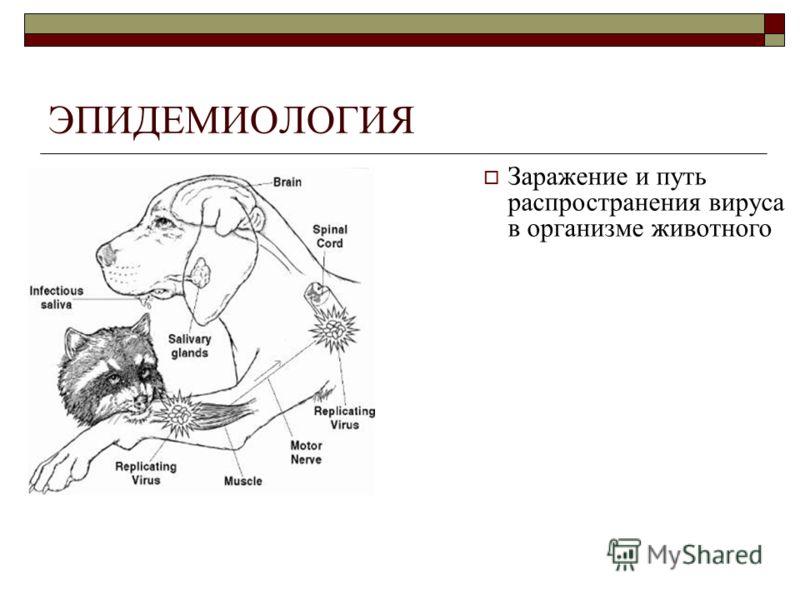 ЭПИДЕМИОЛОГИЯ Заражение и путь распространения вируса в организме животного