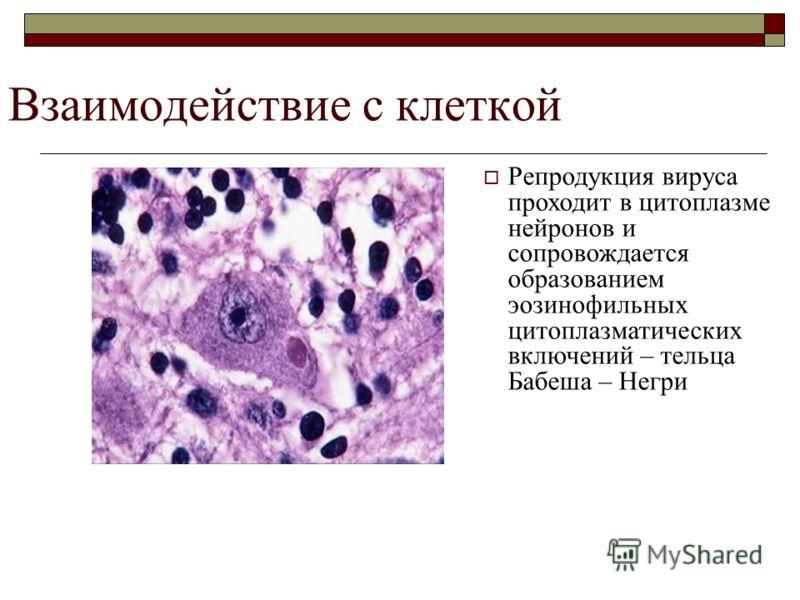 Репродукция вируса проходит в цитоплазме нейронов и сопровождается образованием эозинофильных цитоплазматических включений – тельца Бабеша – Негри