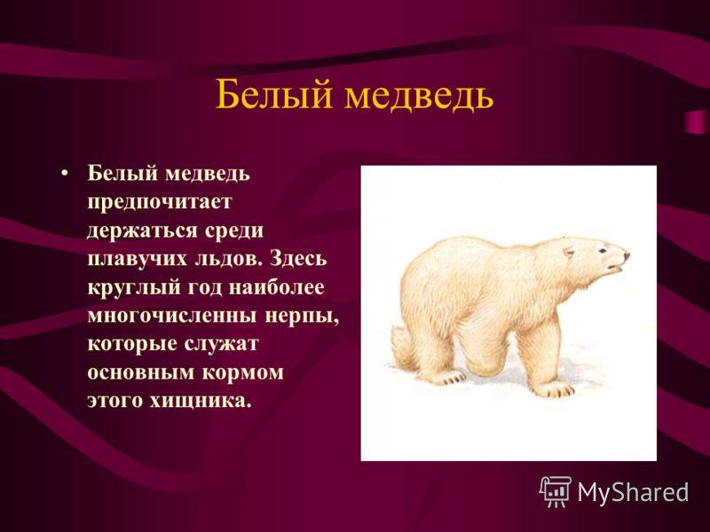 Белый медведь Белый медведь предпочитает держаться среди плавучих льдов. Здесь круглый год наиболее многочисленны нерпы, которые служат основным кормом этого хищника.