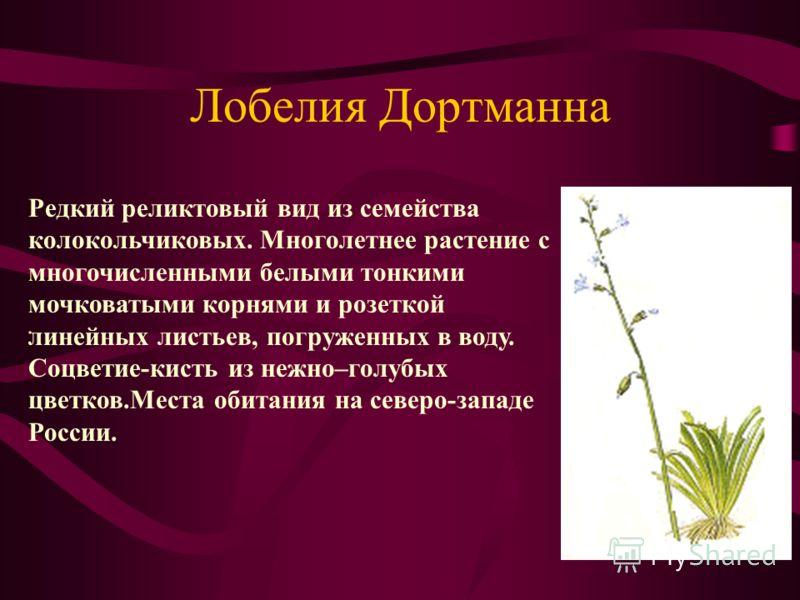 Лобелия Дортманна. Редкий реликтовый вид из семейства колокольчиковых. Многолетнее растение с многочисленными белыми тонкими мочковатыми корнями и розеткой линейных листьев, погруженных в воду. Соцветие-кисть из нежно–голубых цветков.Места обитания н