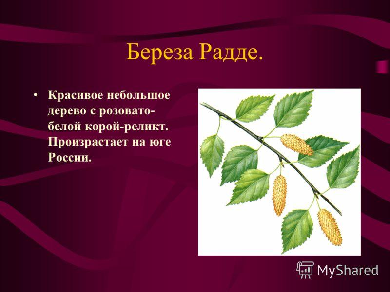 Береза Радде. Красивое небольшое дерево с розовато- белой корой-реликт. Произрастает на юге России.