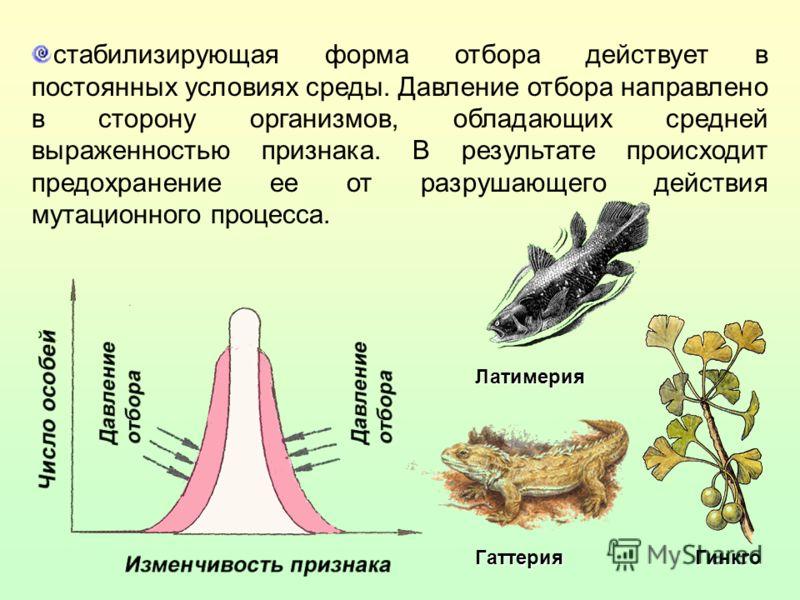 стабилизирующая форма отбора действует в постоянных условиях среды. Давление отбора направлено в сторону организмов, обладающих средней выраженностью признака. В результате происходит предохранение ее от разрушающего действия мутационного процесса. Л