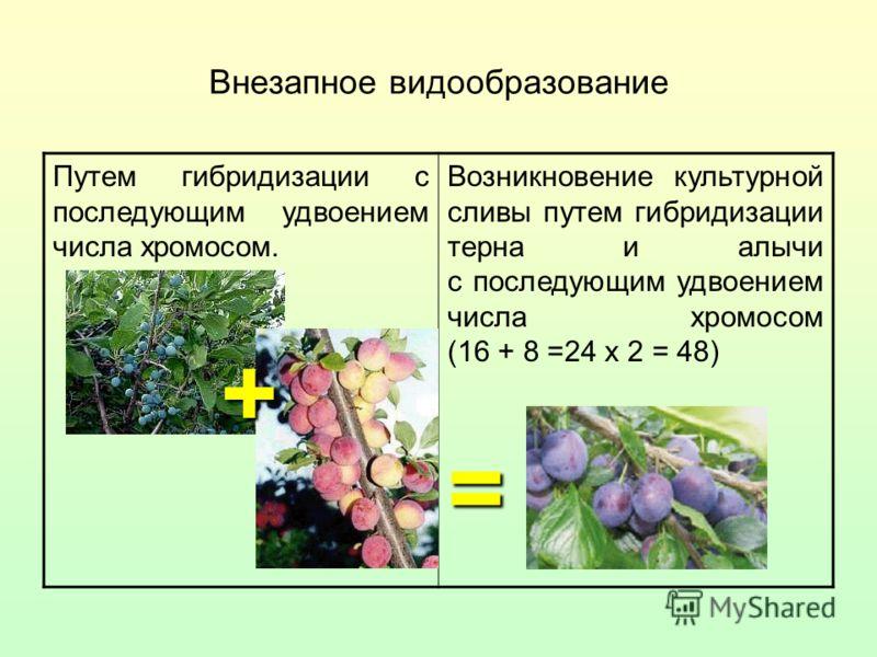 Внезапное видообразование Путем гибридизации с последующим удвоением числа хромосом. Возникновение культурной сливы путем гибридизации терна и алычи с последующим удвоением числа хромосом (16 + 8 =24 х 2 = 48) = +