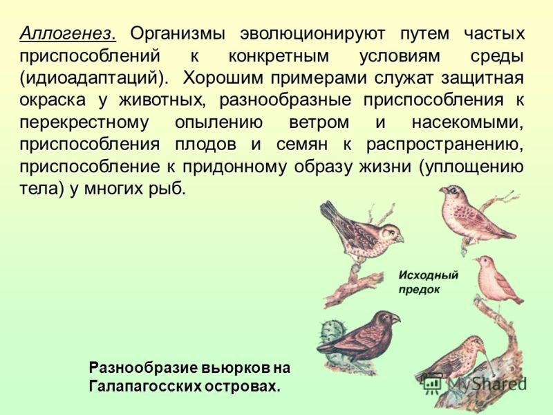 Аллогенез. Организмы эволюционируют путем частых приспособлений к конкретным условиям среды (идиоадаптаций). Хорошим примерами служат защитная окраска у животных, разнообразные приспособления к перекрестному опылению ветром и насекомыми, приспособлен
