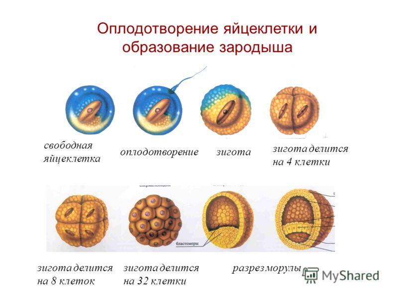 свободная яйцеклетка оплодотворениезигота зигота делится на 4 клетки зигота делится на 32 клетки разрез морулызигота делится на 8 клеток