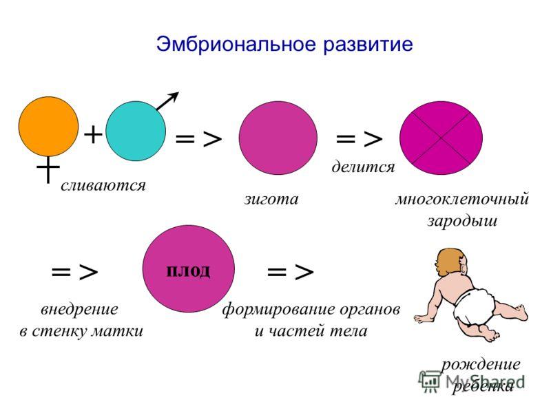 Эмбриональное развитие = > сливаются зигота делится многоклеточный зародыш = > внедрение в стенку матки плод = > формирование органов и частей тела рождение ребенка +