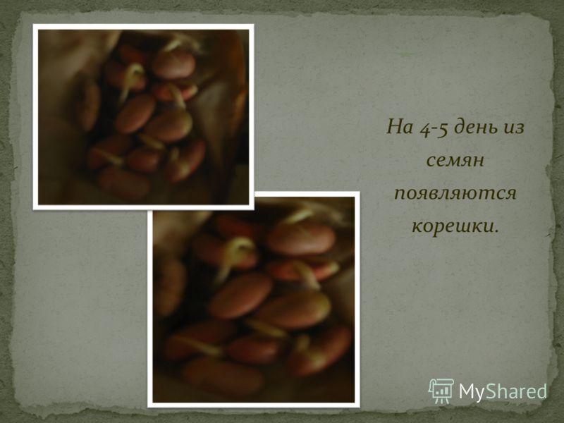 На 4-5 день из семян появляются корешки.