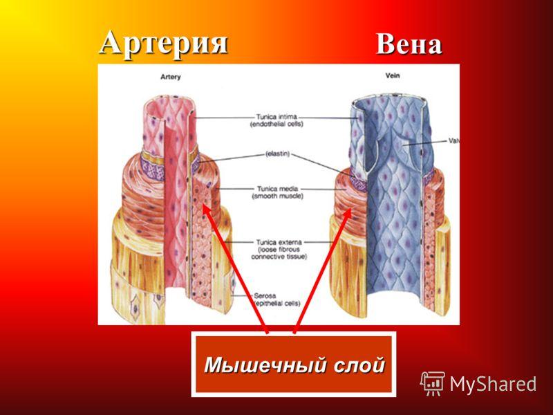 АртерияВена Мышечный слой