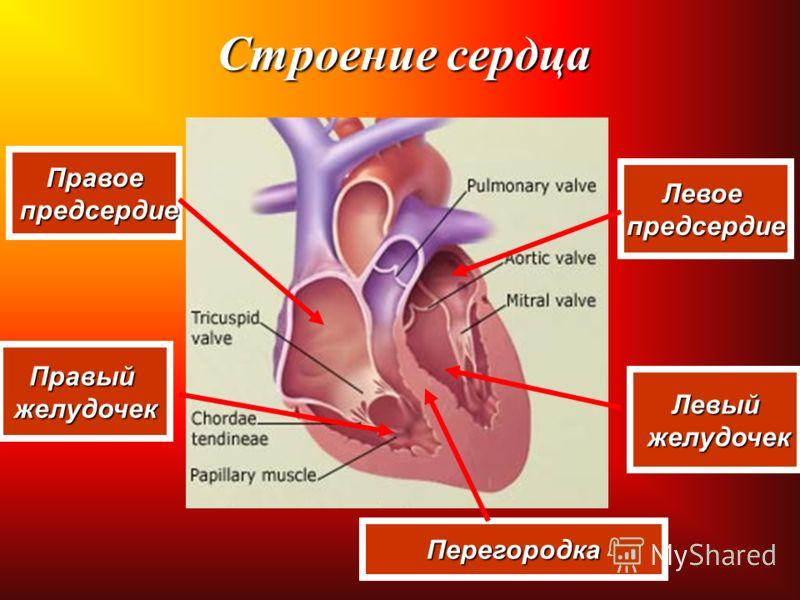 Строение сердца Правое предсердие предсердие Правыйжелудочек Левоепредсердие Левый желудочек желудочек Перегородка