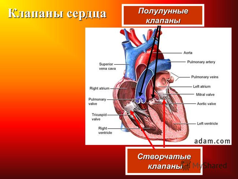 Клапаны сердца Створчатые клапаны клапаны Полулунныеклапаны