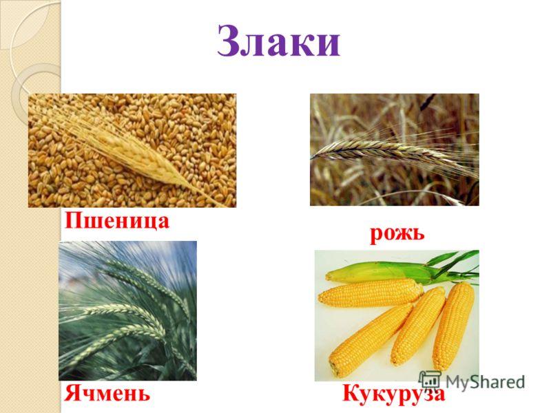 Пшеница рожь ЯчменьКукуруза Злаки