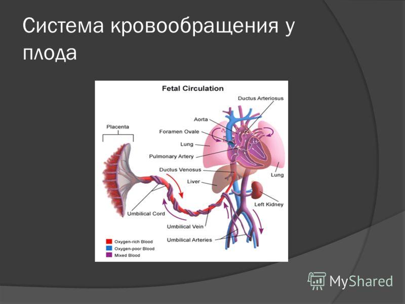 Система кровообращения у плода