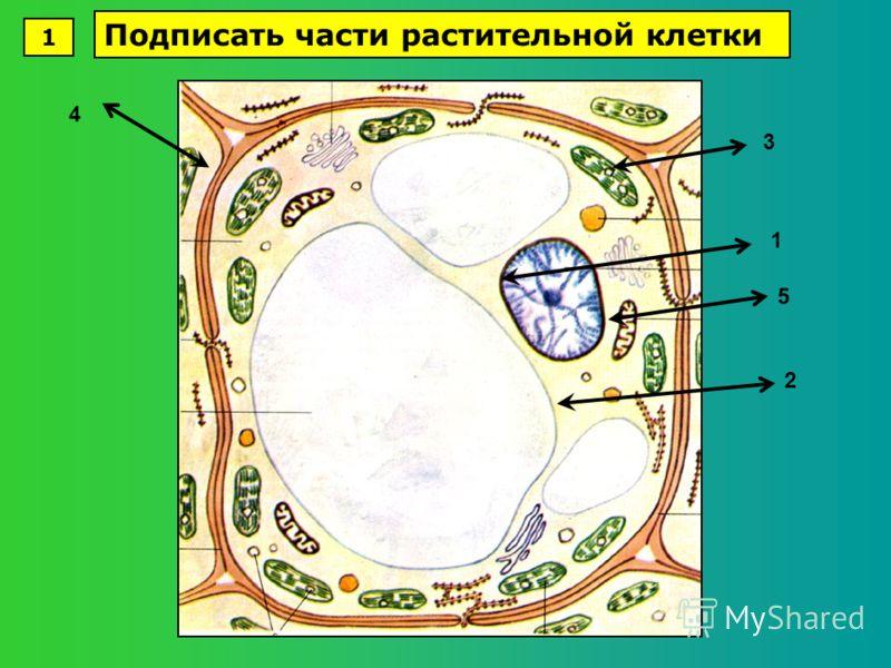 1 2 3 4 5 1 Подписать части растительной клетки