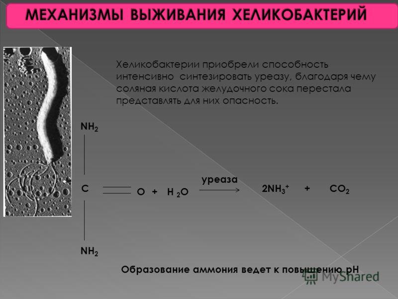 Желудок является тем « чистилищем », в котором в условиях воздействия соляной кислоты и протеолитических ферментов наряду с перевариванием пищи происходит разрушение, попавших в организм микроорганизмов. В справедливости такой точки зрения не приходи