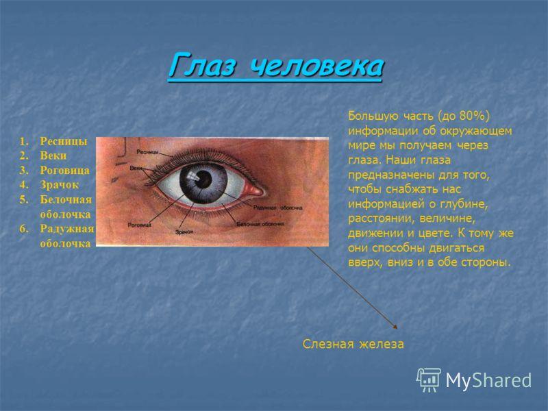 Глаз человека Глаз человека 1.Ресницы 2.Веки 3.Роговица 4.Зрачок 5.Белочная оболочка 6.Радужная оболочка Слезная железа Большую часть (до 80%) информации об окружающем мире мы получаем через глаза. Наши глаза предназначены для того, чтобы снабжать на