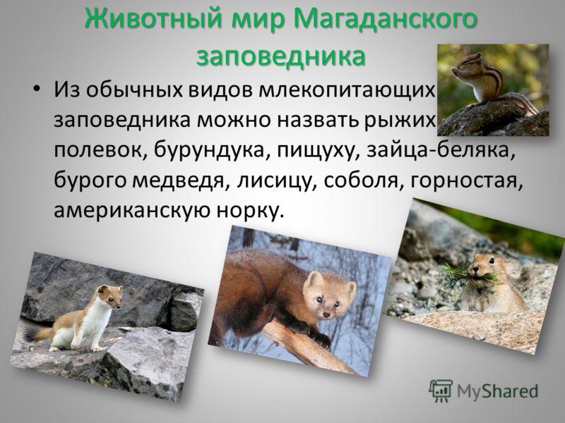 Животный мир Магаданского заповедника Из обычных видов млекопитающих заповедника можно назвать рыжих полевок, бурундука, пищуху, зайца-беляка, бурого медведя, лисицу, соболя, горностая, американскую норку.