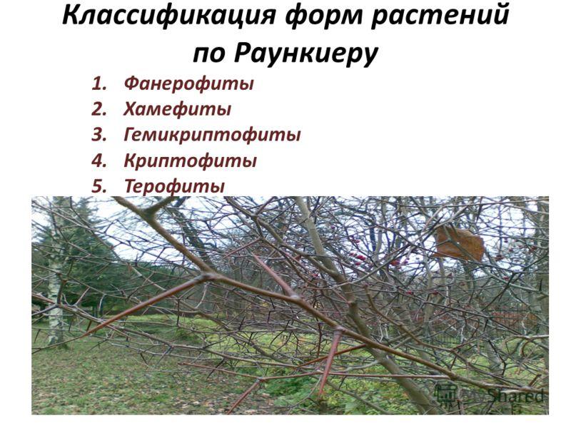 Классификация форм растений по Раункиеру 1.Фанерофиты 2.Хамефиты 3.Гемикриптофиты 4.Криптофиты 5.Терофиты