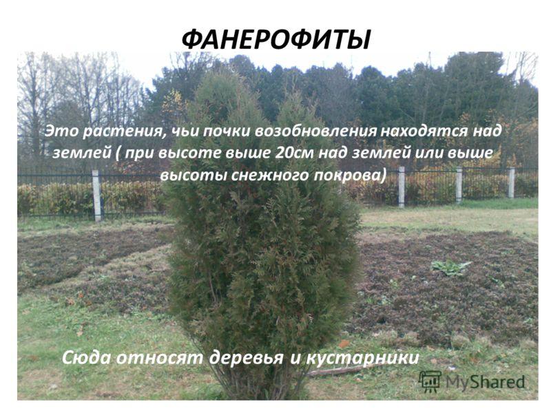 ФАНЕРОФИТЫ Это растения, чьи почки возобновления находятся над землей ( при высоте выше 20см над землей или выше высоты снежного покрова) Сюда относят деревья и кустарники