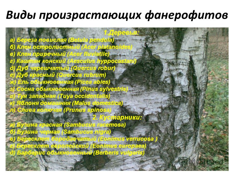 Виды произрастающих фанерофитов 1.Деревья: а) Береза повислая (Betula pendula) б) Клен остролистный (Acer platanoides) в) Клен приречный (Acer fluviatile) г) Каштан конский (Aesculus hyppocastani) д) Дуб черешчатый (Quercus robur) е) Дуб красный (Que