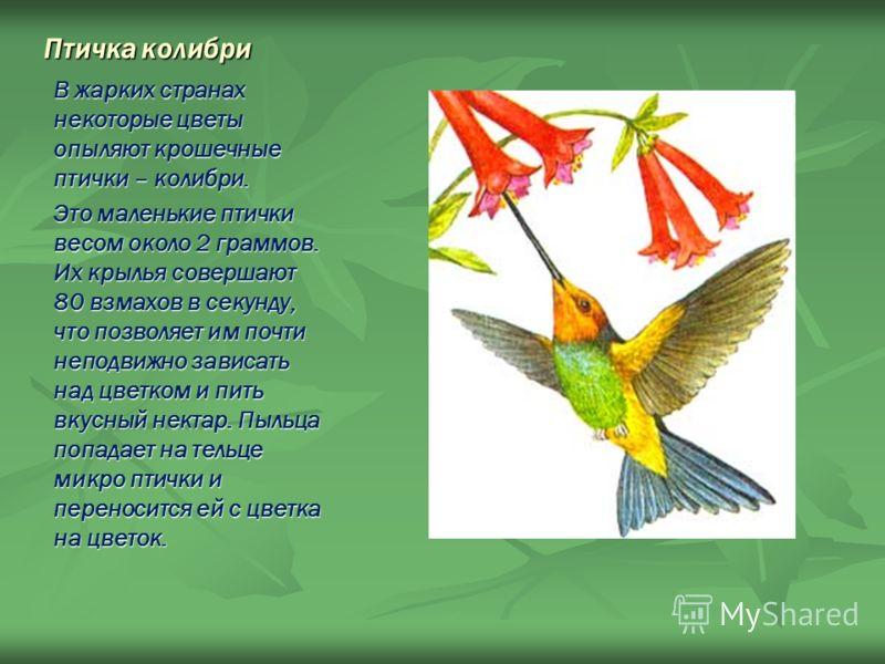 Птичка колибри В жарких странах некоторые цветы опыляют крошечные птички – колибри. Это маленькие птички весом около 2 граммов. Их крылья совершают 80 взмахов в секунду, что позволяет им почти неподвижно зависать над цветком и пить вкусный нектар. Пы