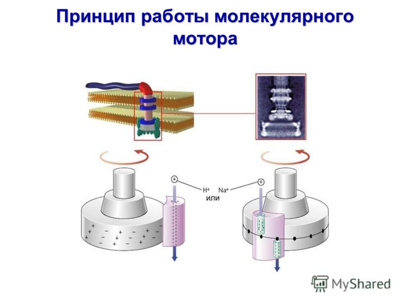 Принцип работы молекулярного мотора