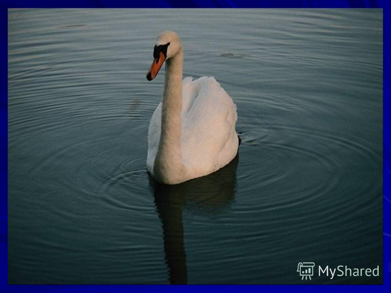 Летят, белыми крыльями машут, Прогнулись над водой, качают головой. Прямо, гордо умеют держаться, Бесшумно на воду садятся.