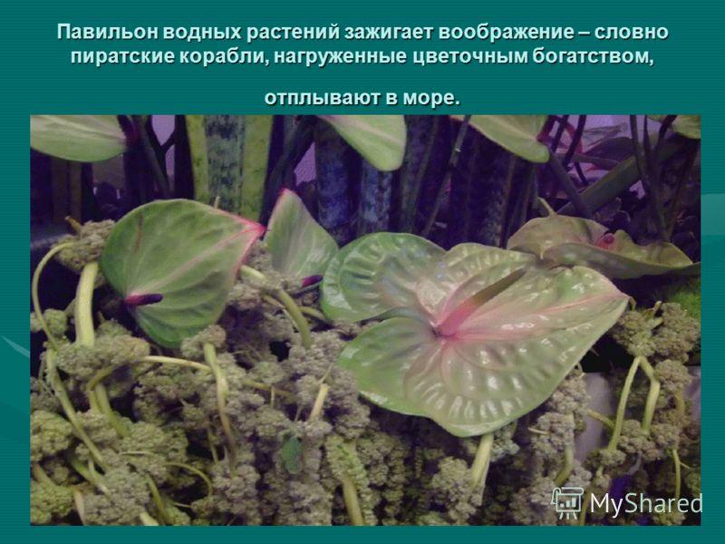 Павильон водных растений зажигает воображение – словно пиратские корабли, нагруженные цветочным богатством, отплывают в море.