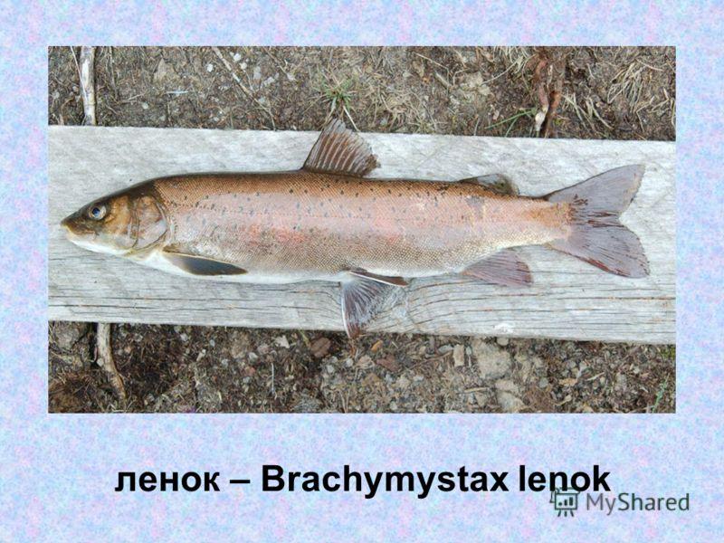 ленок – Brachymystax lenok