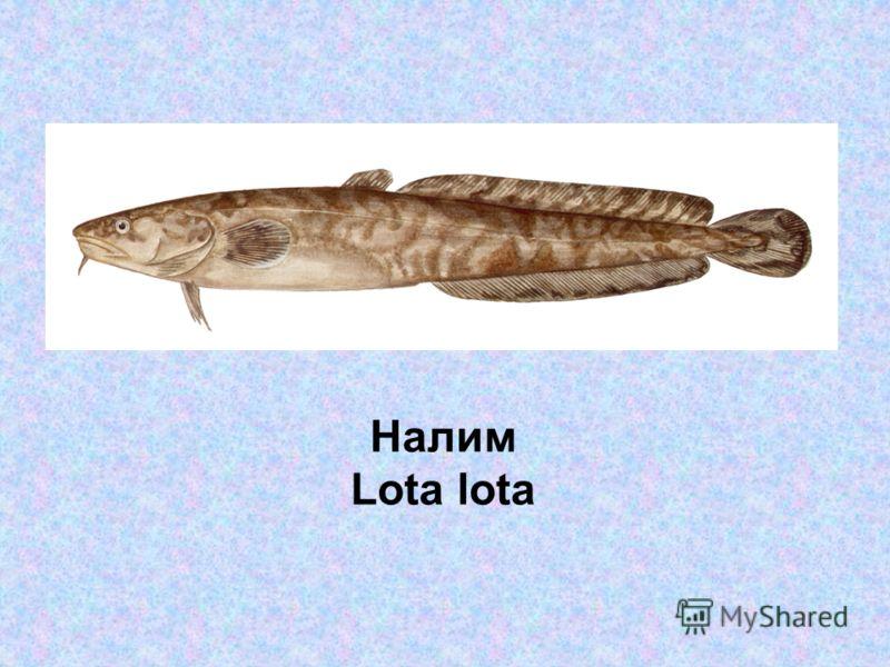 Налим Lota lota
