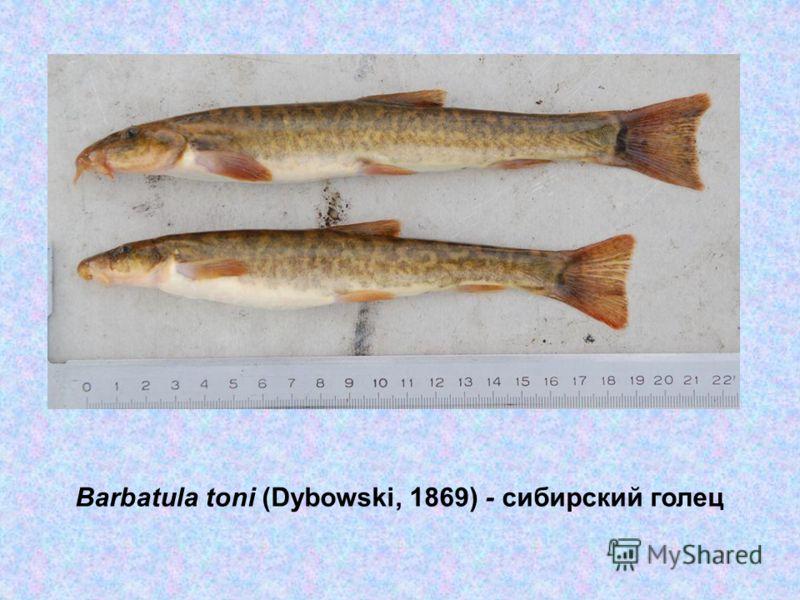 Barbatula toni (Dybowski, 1869) - сибирский голец