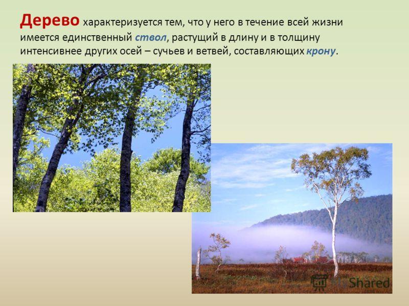 Дерево характеризуется тем, что у него в течение всей жизни имеется единственный ствол, растущий в длину и в толщину интенсивнее других осей – сучьев и ветвей, составляющих крону.