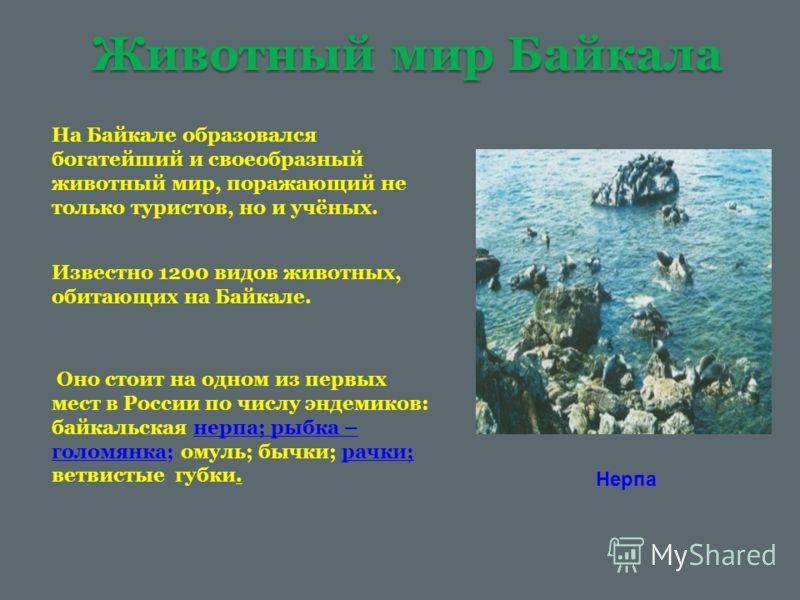 Животный мир Байкала На Байкале образовался богатейший и своеобразный животный мир, поражающий не только туристов, но и учёных. Известно 1200 видов животных, обитающих на Байкале. Оно стоит на одном из первых мест в России по числу эндемиков: байкаль
