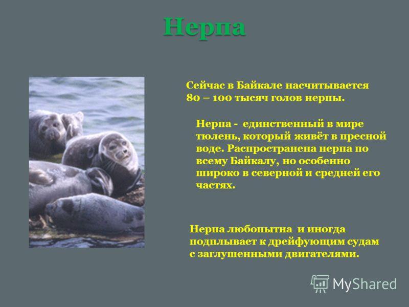 Нерпа Сейчас в Байкале насчитывается 80 – 100 тысяч голов нерпы. Нерпа - единственный в мире тюлень, который живёт в пресной воде. Распространена нерпа по всему Байкалу, но особенно широко в северной и средней его частях. Нерпа любопытна и иногда под