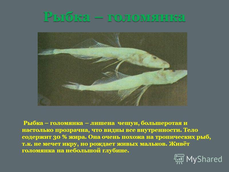 Рыбка – голомянка Рыбка – голомянка – лишена чешуи, большеротая и настолько прозрачна, что видны все внутренности. Тело содержит 30 % жира. Она очень похожа на тропических рыб, т.к. не мечет икру, но рождает живых мальков. Живёт голомянка на небольшо