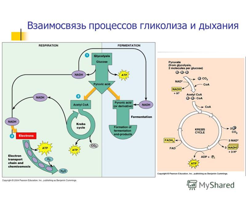 Взаимосвязь процессов гликолиза и дыхания