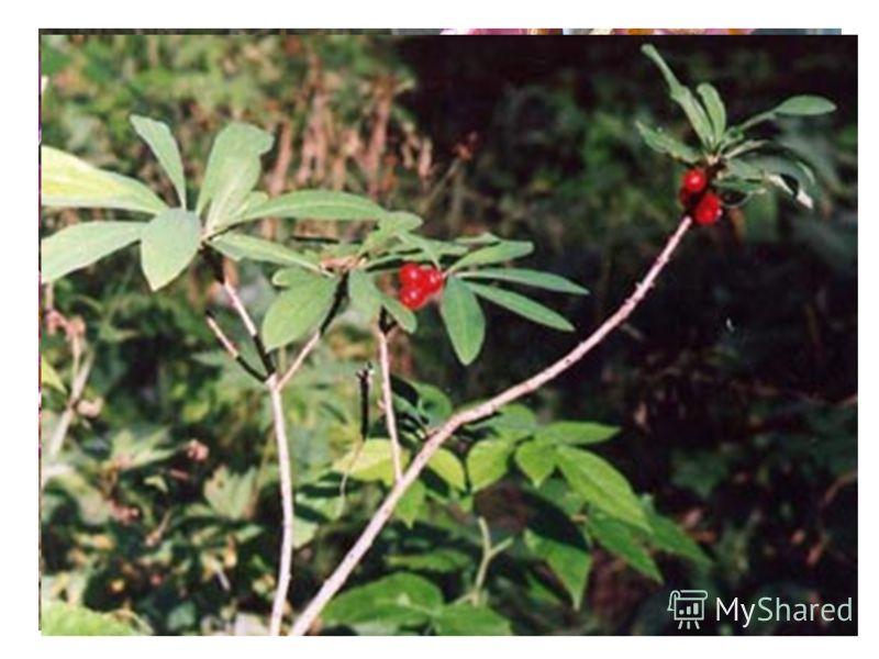 Диво - дивное весною Видим мы в лесу с тобою: Прилепились на пруточке Светло-красные цветочки. Полюбуйся, погляди-ка, Расцветает волчье …