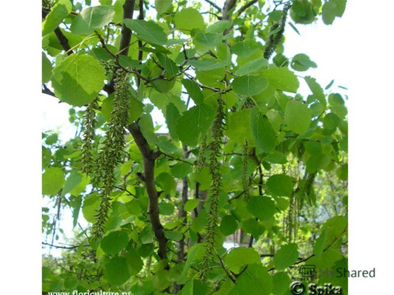 Что за дерево? Без ветра шелестит, тёплым летом как от холода дрожит?