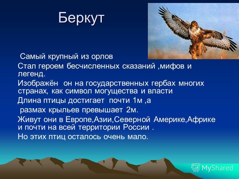 Беркут Самый крупный из орлов Стал героем бесчисленных сказаний,мифов и легенд. Изображён он на государственных гербах многих странах, как символ могущества и власти Длина птицы достигает почти 1м,а размах крыльев превышает 2м. Живут они в Европе,Ази
